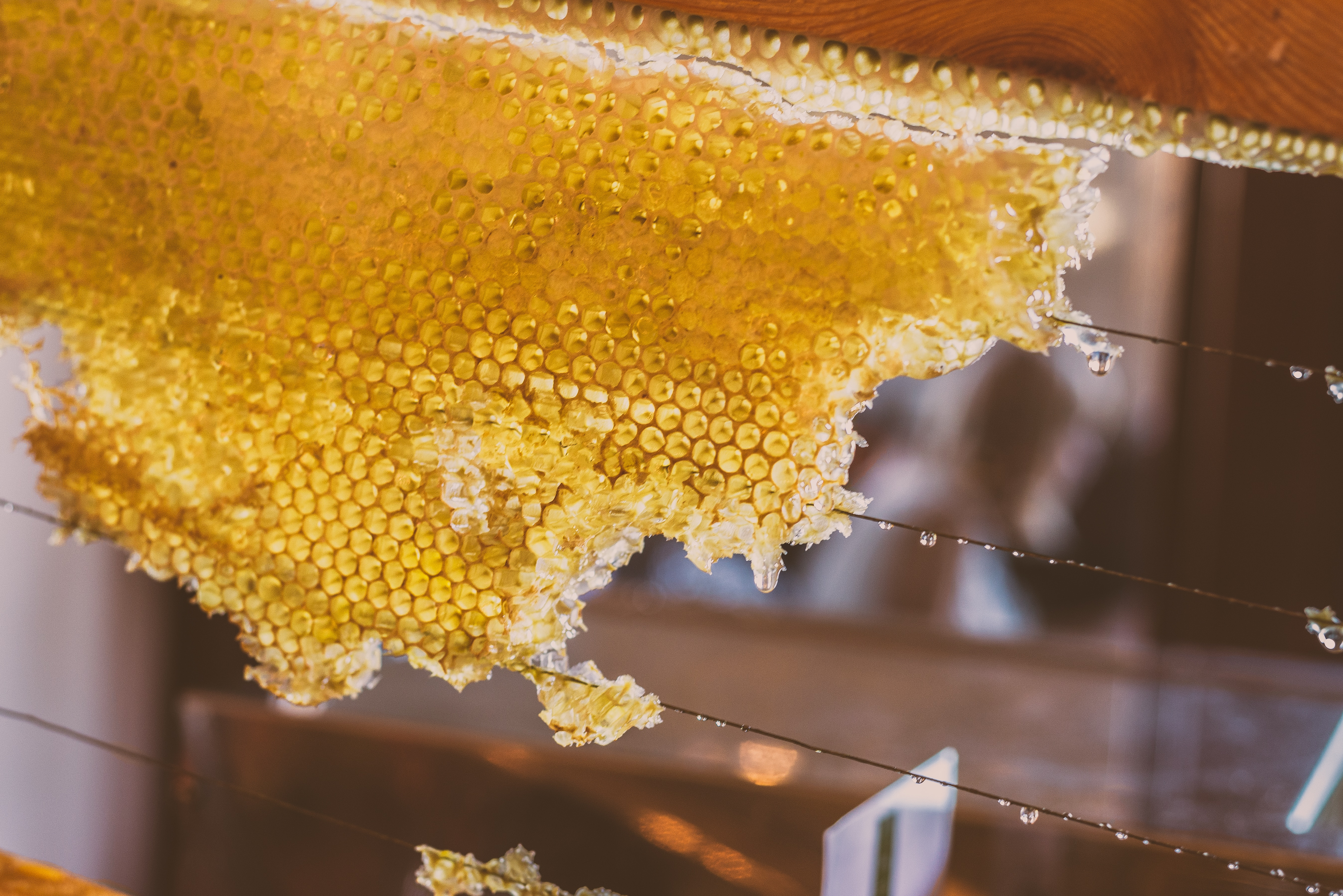 Close up of a beehive frame with partial honeycomb, dripping with golden honey